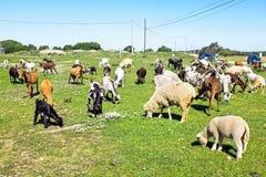 Carneiros e cabras no campo de Portugal Imagens de Stock