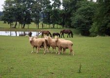 Carneiros e cavalos de Amish imagem de stock