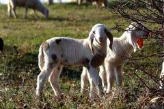 Carneiros e cordeiro Foto de Stock