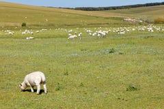 Carneiros e cordeiro no parque bonito do país das irmãs do verde sete Imagem de Stock