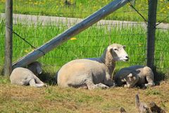 Carneiros e cordeiros Imagem de Stock