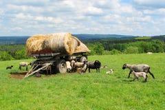 Carneiros e cordeiros Imagem de Stock Royalty Free