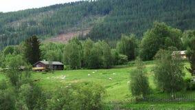 Carneiros e cordeiros na paisagem do pasto da pastagem filme