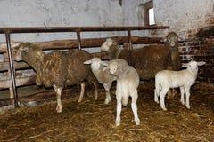 Carneiros e cordeiros no estábulo Fotografia de Stock Royalty Free