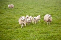 Carneiros e cordeiros no prado Imagens de Stock Royalty Free
