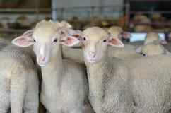 carneiros e cordeiros pequenos Imagem de Stock
