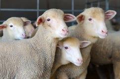 carneiros e cordeiros pequenos Foto de Stock Royalty Free