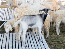 Carneiros e Dorset na exploração agrícola Fotos de Stock Royalty Free