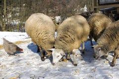 Carneiros e galinha na exploração agrícola Foto de Stock