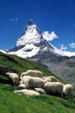 Carneiros e Matterhorn Fotos de Stock