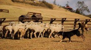 Carneiros e sheepdog Imagens de Stock