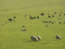 Carneiros e vacas em um pasto Fotos de Stock