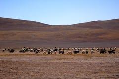 Carneiros e yaks em Tibet Imagens de Stock