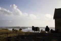 Carneiros em Faroe Island Imagem de Stock Royalty Free