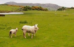 Carneiros em Gales Foto de Stock