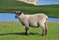 Carneiros em ilhas de Shetland Imagem de Stock Royalty Free