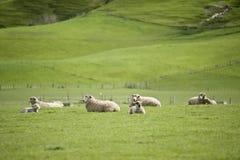 Carneiros em Nova Zelândia Fotografia de Stock Royalty Free