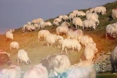 Carneiros em picos de montanha Imagens de Stock