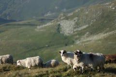 Carneiros em picos de montanha Imagem de Stock
