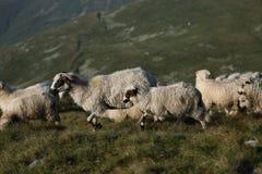 Carneiros em picos de montanha Foto de Stock Royalty Free