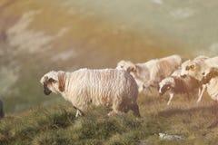 Carneiros em picos de montanha, retrato completo Foto de Stock Royalty Free