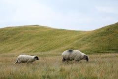 Carneiros em picos de montanha, retrato completo Foto de Stock