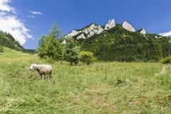 Carneiros em prados da montanha Fotografia de Stock Royalty Free