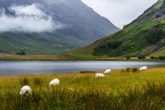 Carneiros em scotland Foto de Stock