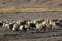Carneiros em Tibet Fotografia de Stock