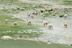 Carneiros em Tibet Foto de Stock