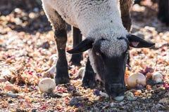 Carneiros em um pasto colorido que comem cebolas Fotografia de Stock Royalty Free