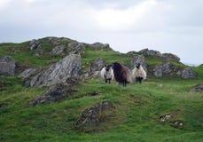 Carneiros em um pasto em Noruega Fotos de Stock Royalty Free