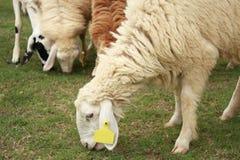 Carneiros em um prado Foto de Stock