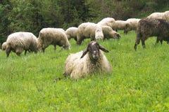 Carneiros em um prado verde fotos de stock