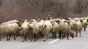 Carneiros em uma estrada Imagem de Stock