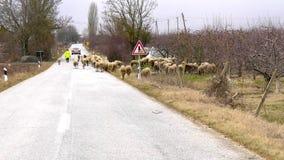 Carneiros em uma estrada Imagens de Stock