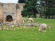 carneiros em uma exploração agrícola australiana Fotografia de Stock