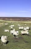 Carneiros em uma exploração agrícola BRITÂNICA Imagens de Stock