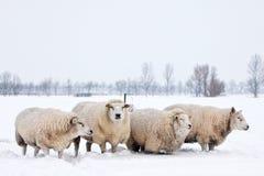 Carneiros em uma paisagem branca do inverno fotos de stock