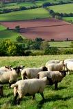 Carneiros em Wales Fotografia de Stock