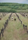 Carneiros entre vinhas abandonadas Fotos de Stock