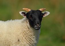 Carneiros escoceses do blackface imagens de stock royalty free