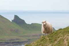 Carneiros, Faroe Island Foto de Stock Royalty Free