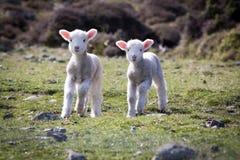 Carneiros felizes, Wainuiomata, Nova Zelândia Fotografia de Stock