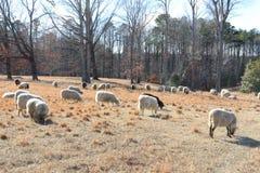Carneiros Grace Peacefully no pasto do inverno Foto de Stock Royalty Free