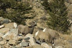 Carneiros grandes do chifre de Colorado do inverno Fotografia de Stock Royalty Free