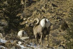 Carneiros grandes do chifre de Colorado do inverno Fotos de Stock Royalty Free