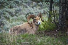 Carneiros grandes do chifre, parque nacional de Yellowstone, WY Imagem de Stock