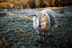 Carneiros irlandeses bonitos no monte geada-coberto durante o inverno que olha na câmera Fotografia de Stock