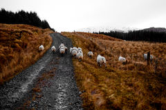 Carneiros irlandeses nas montanhas de Bluestack na Irlanda de Donegal Fotos de Stock